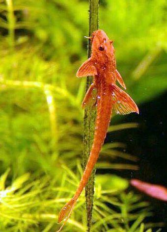 Rineloricaria Lanceolata Freshwater Fish Aquarium Fish Tropical Freshwater Fish