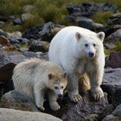 2016 Great Bear Rainforest Order Saves 85 Percent of Old Growth Forest
