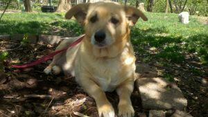 Adopted Missy Lovable Mellow Pooch Is An Adoptable Welsh