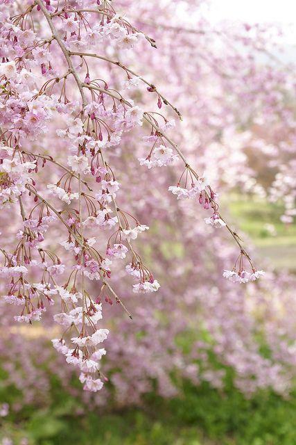 Weeping Cherry Of Kozenji Temple Flowering Trees Weeping Cherry Tree Beautiful Flowers