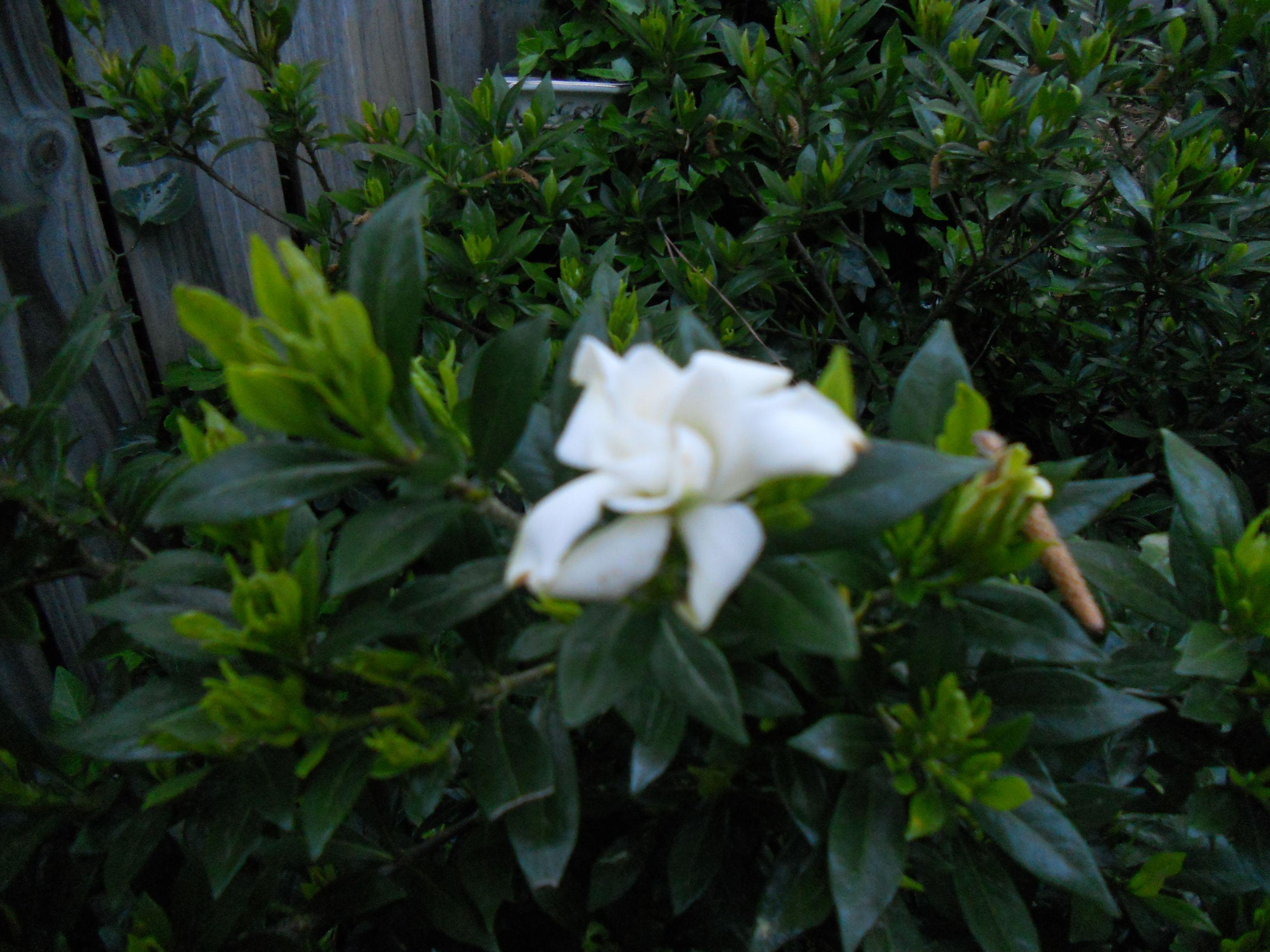 1st trailing gardenia!