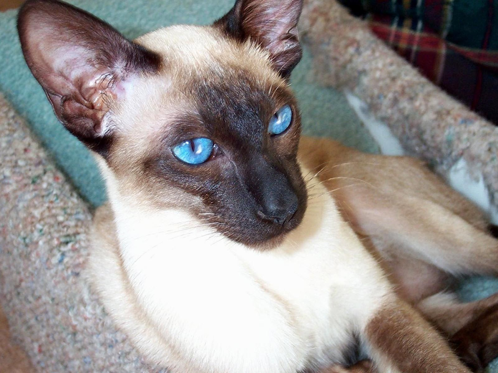 Pictures Of Siamese Cats Eyes Siamese Cat With Blue Eyes Siamese Cats Funny Siamese Cats Blue Point Siamese Cats