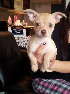 Lavender Female Chihuahua - Vancouver Dogs & Puppies For Sale