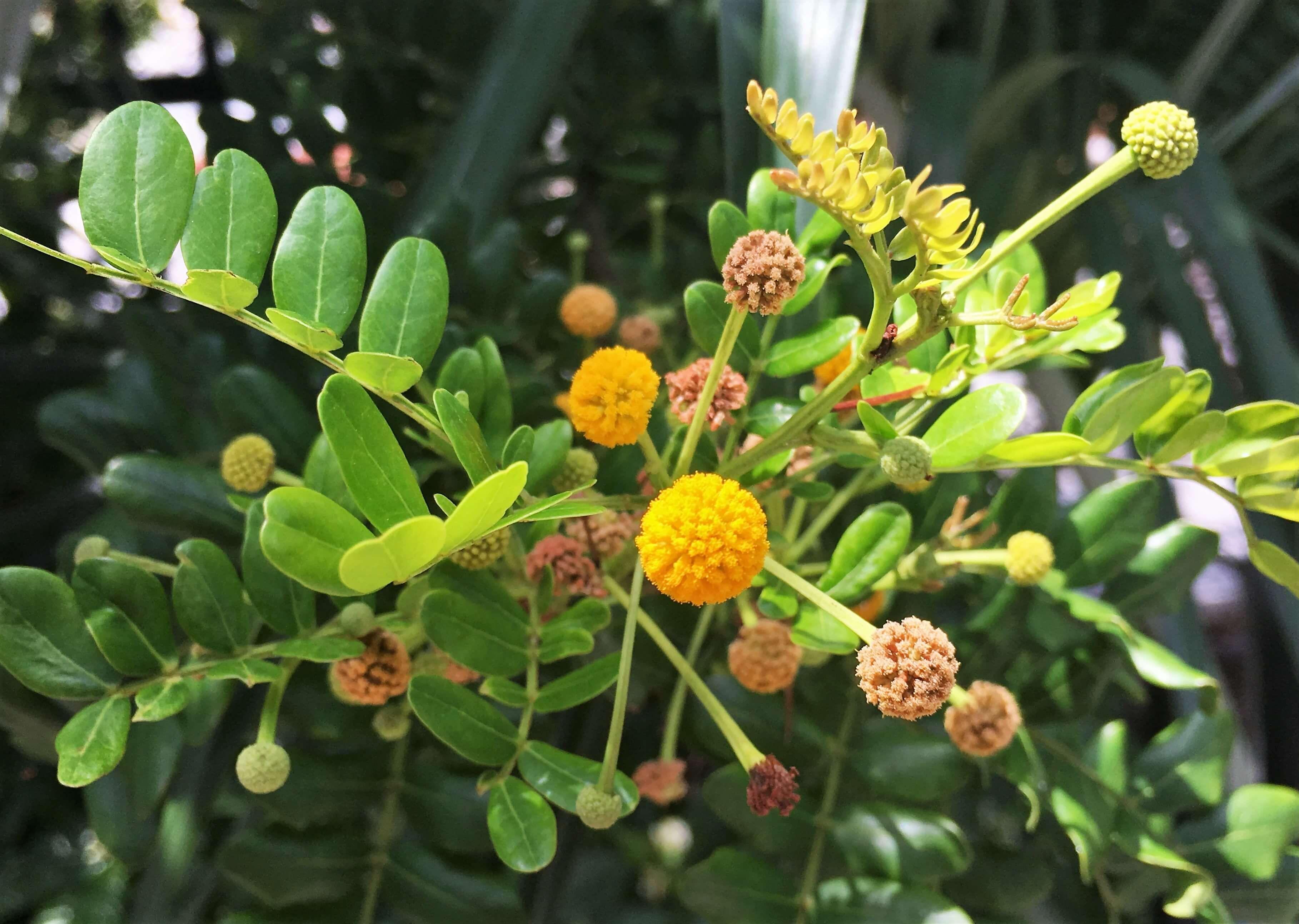Acacia Choriophylla Cinnecord Flower Family Leguminosae Flowers Plants Fruit