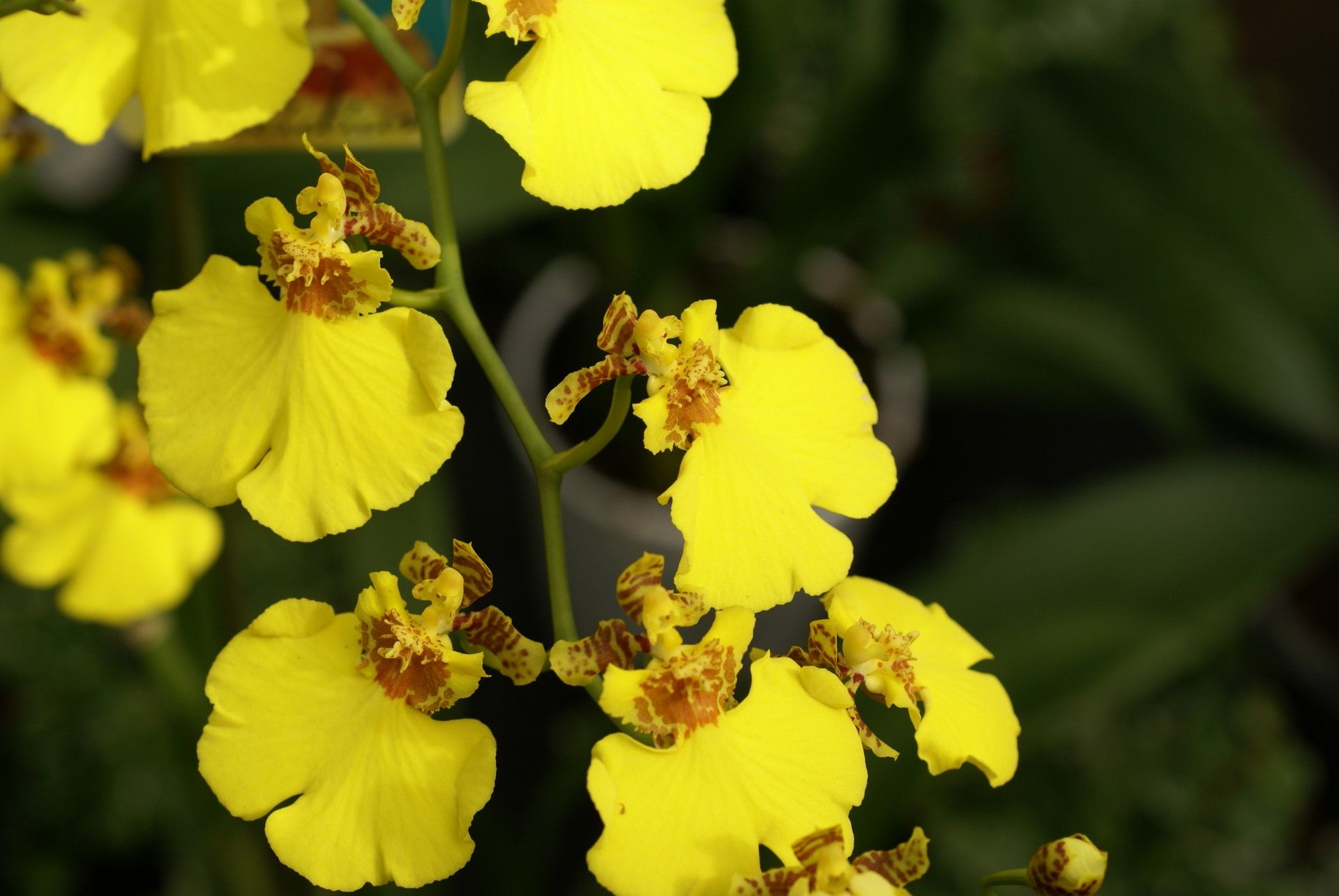 Yellow Oncidium Orchid Yellow Orchid Oncidium Orchids Orchid Flower
