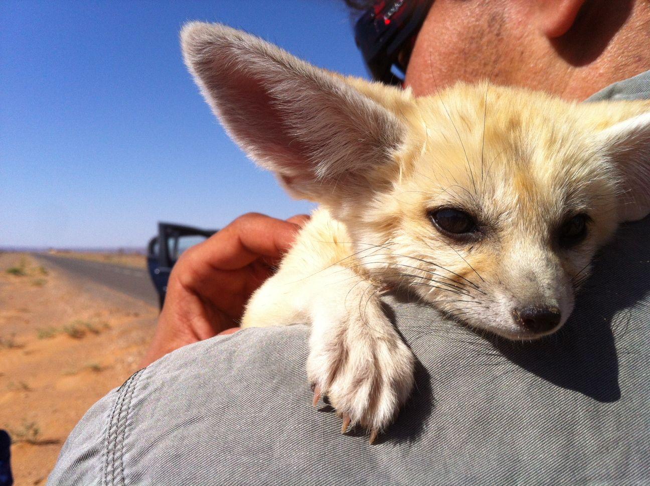 The Most Adorable Desert Fox Kitten Merzouga Morocco Kitten Fox Desert Fox