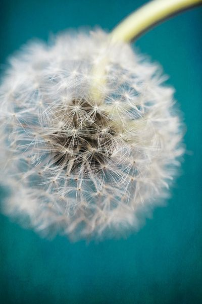 Dandelion on Teal by Lawson Images