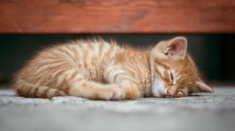 How Many Hours A Day Do Cats Sleep Why Do They Sleep So Much In 2020 Cat Behavior Cat Sleeping Cat Adoption