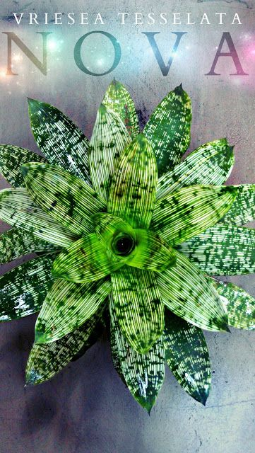 Plant of the Week:  The Vriesea Tesselata Nova