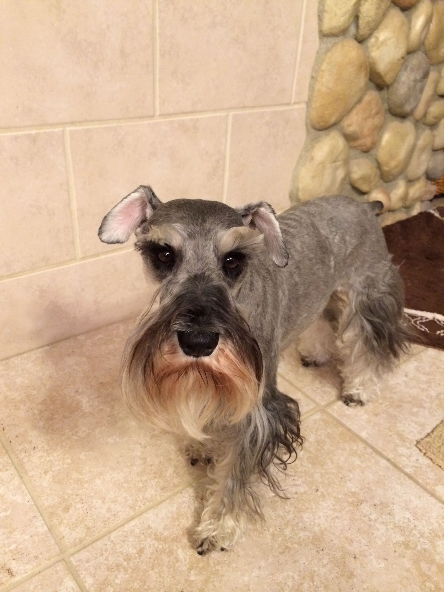 Sweet Little Mini Schnauzer Look At Those Big Beautiful Eyes