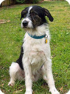 Acworth, GA - Border Collie/Irish Wolfhound Mix  Meet Baker a Dog