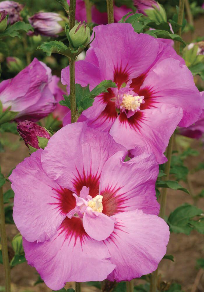 The Tahiti Hibiscus Produces Semi Double Deep Pink Purple Flowers