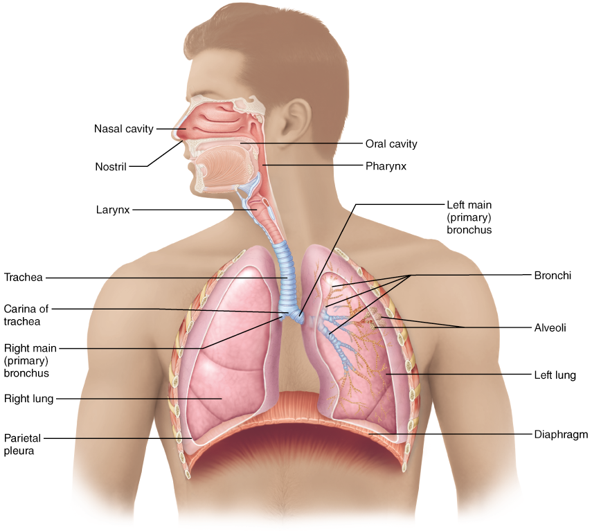 Functional Anatomy Of The Respiratory System Anatomy Pinterest