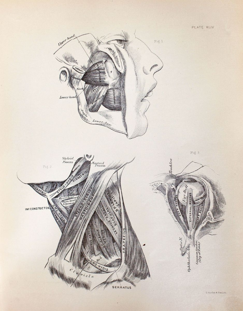 Anatomical diagram of muscles of mastication, muscles around the eye ...