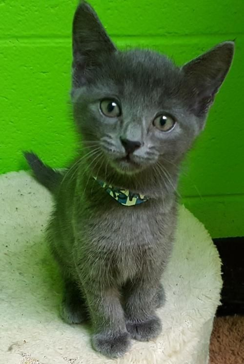Ashes 24738 is an adoptable Domestic Short Hair searching for a forever family near Prattville, AL. Use Petfinder to find adoptable pets in your area.