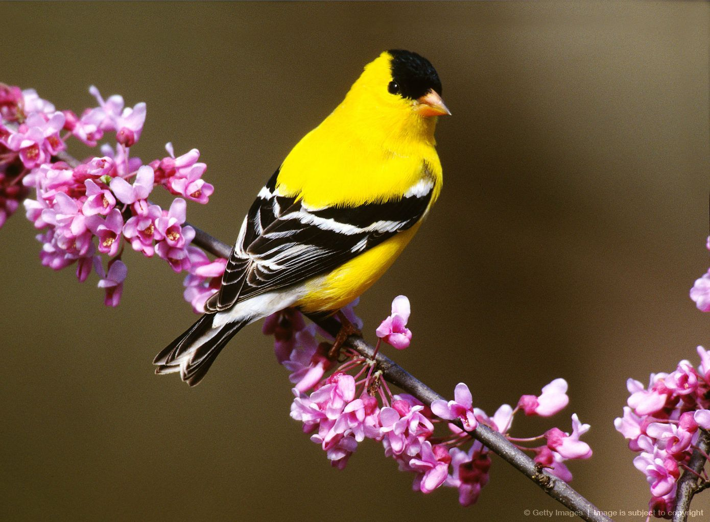 American Goldfinch state bird of New Jersey Birds, State