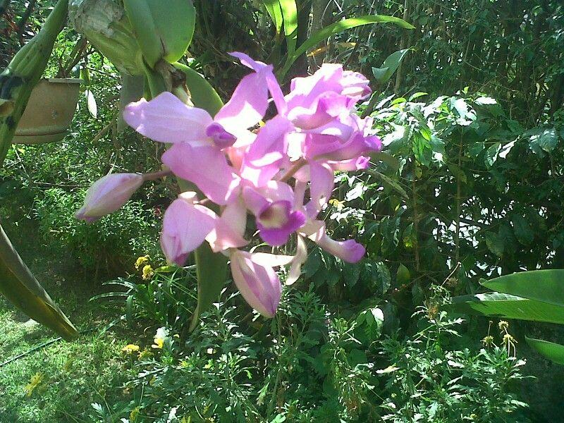 Orquideas de guatemala mi jardin orqu deas jardiner a for Jardines de orquideas