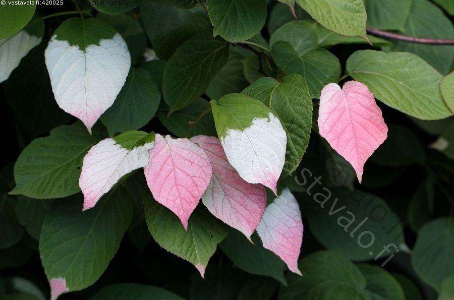 Kiinanlaikkuköynnös - Actinidia kolomikta laikkuköynnös köynnöskasvi köynnöstävä lehdet punaiset valkoiset koristeellinen puutarhakasvi
