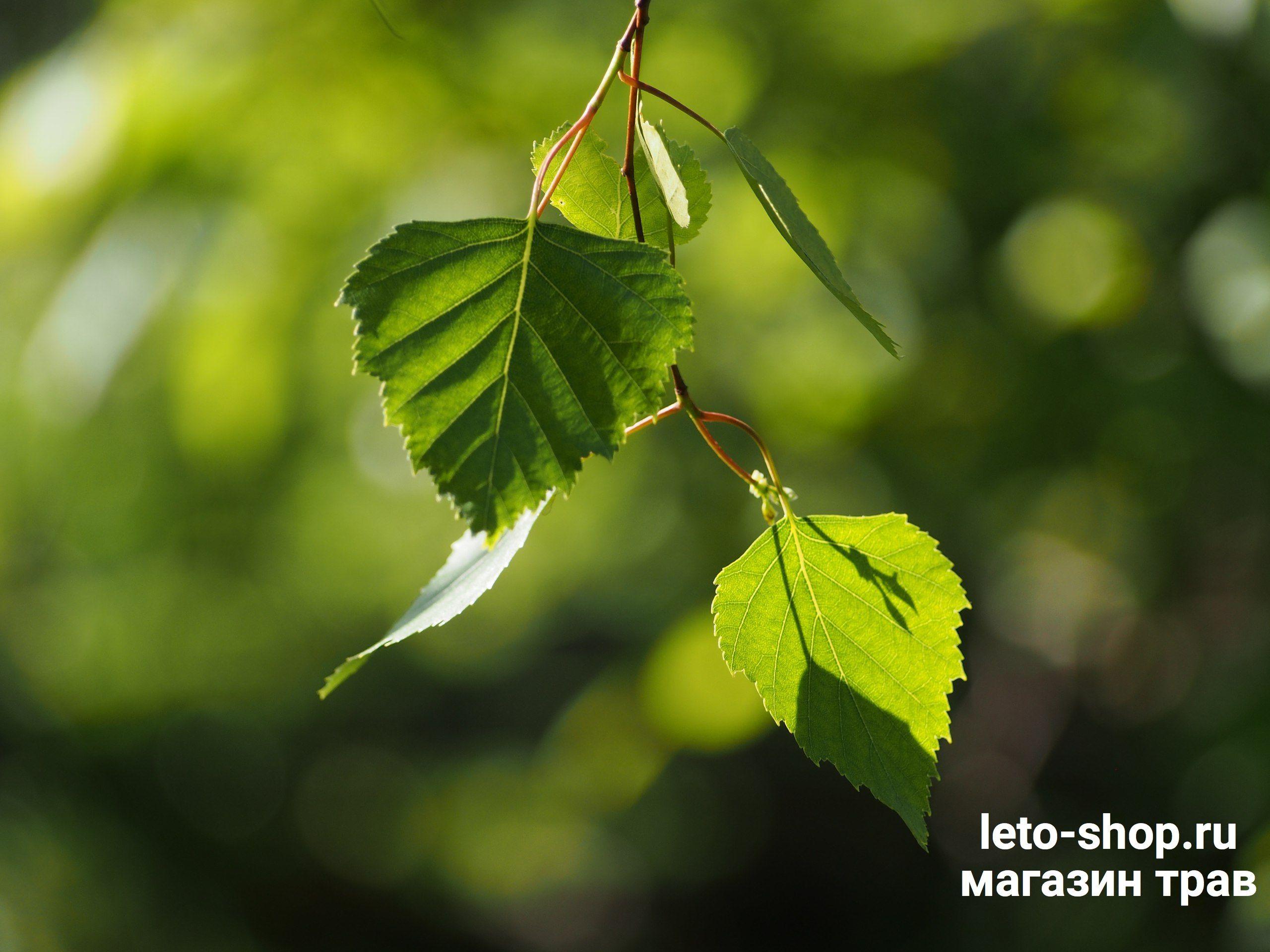 Березовые листья прием в народной медиц черный металл в Липино