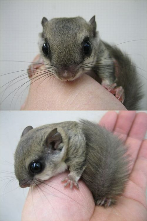 What You Need To Know As Owner Of Flying Squirrel Pet Flying Squirrel Pet Cute Animals Baby Animals