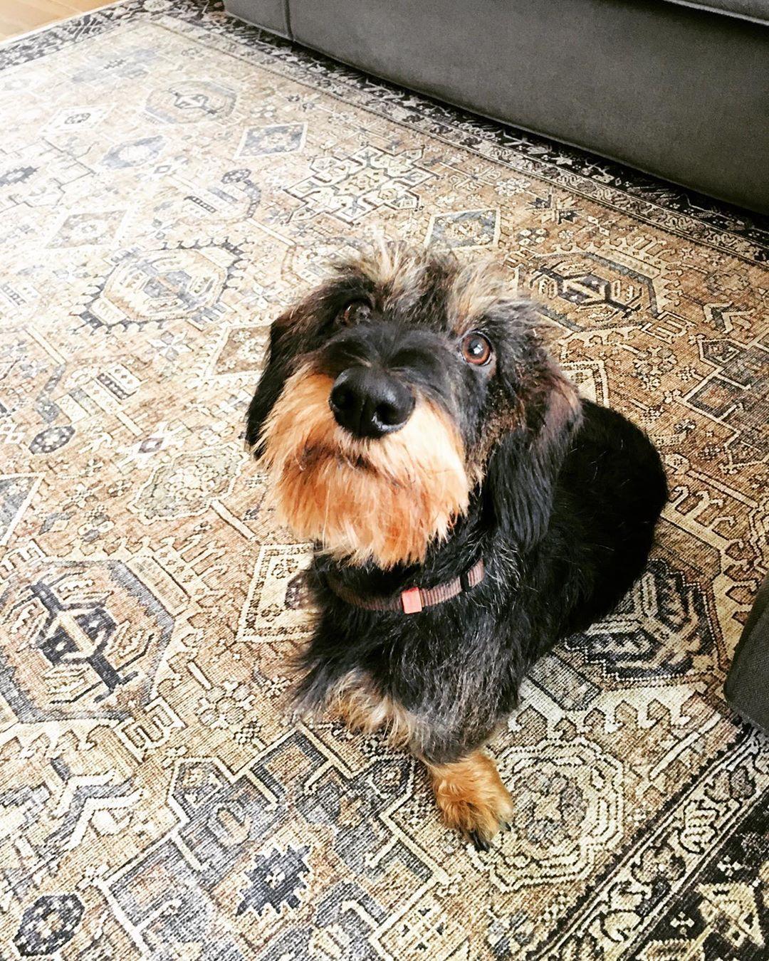 New Carpet Warm Feet Ruwharigeteckel Sausagedog Dachshund Teckel Teckelpuppy Happydog Puppy Hypoallergenic Dog Breed Hypoallergenic Dogs Dog Breeds