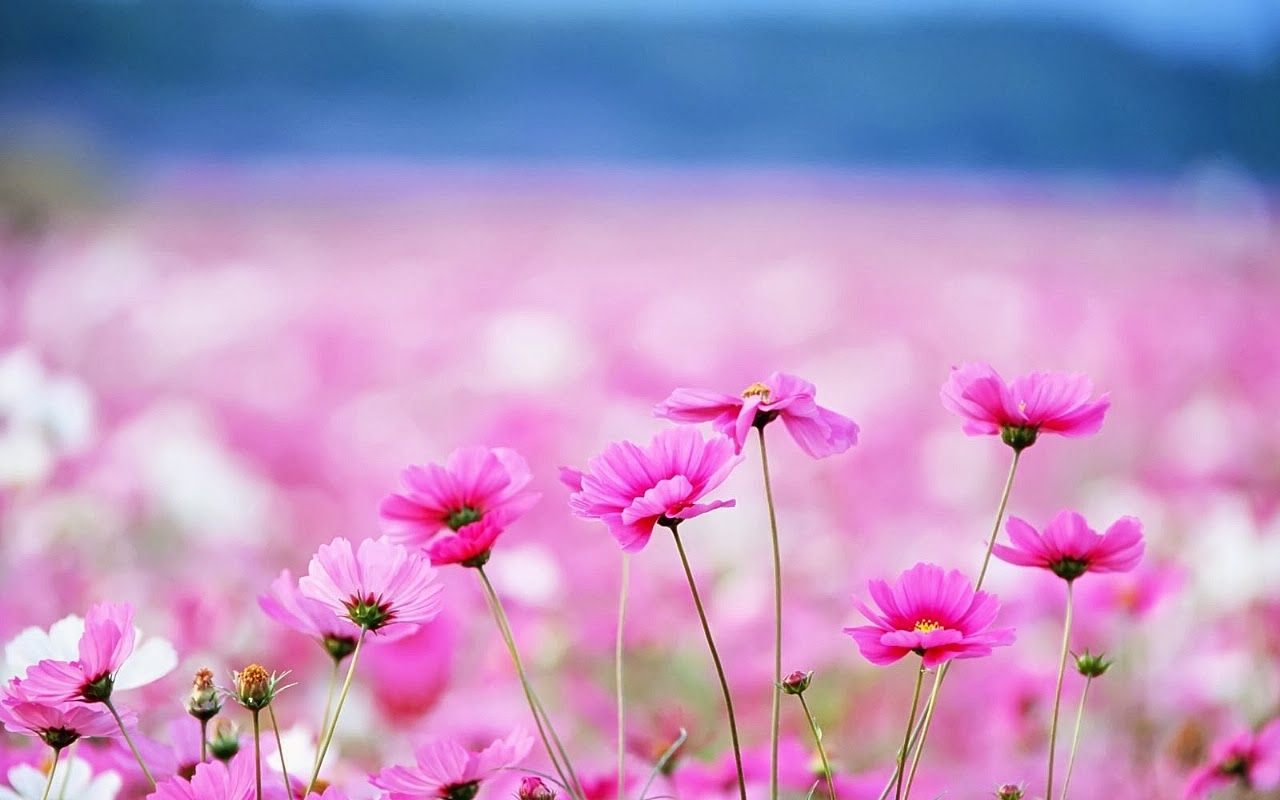Hd Wallpapers Flowers Hd Wallpapers For Pc Flower Desktop Wallpaper Flower Wallpaper Pink Wallpaper