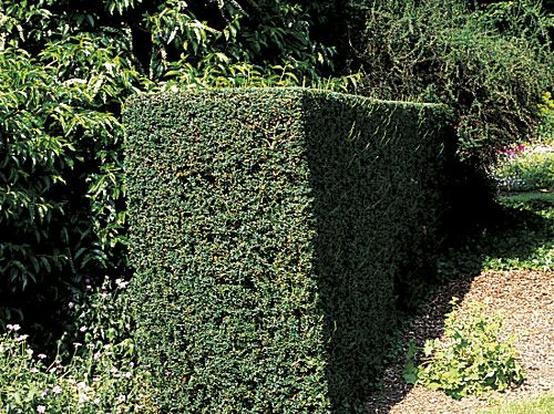 Bosch Ahs 70 34 Hedges Escallonia Hedge Laurel Hedge