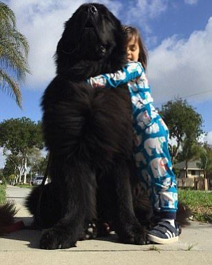 News Latest Headlines Photos And Videos Daily Mail Online Giant Dogs Newfoundland Puppies Newfoundland Dog Puppy