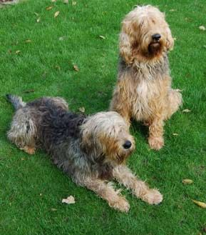 Otterhounds 3 My New Fav Dog So Cute Otterhound Dogs British Dog Breeds