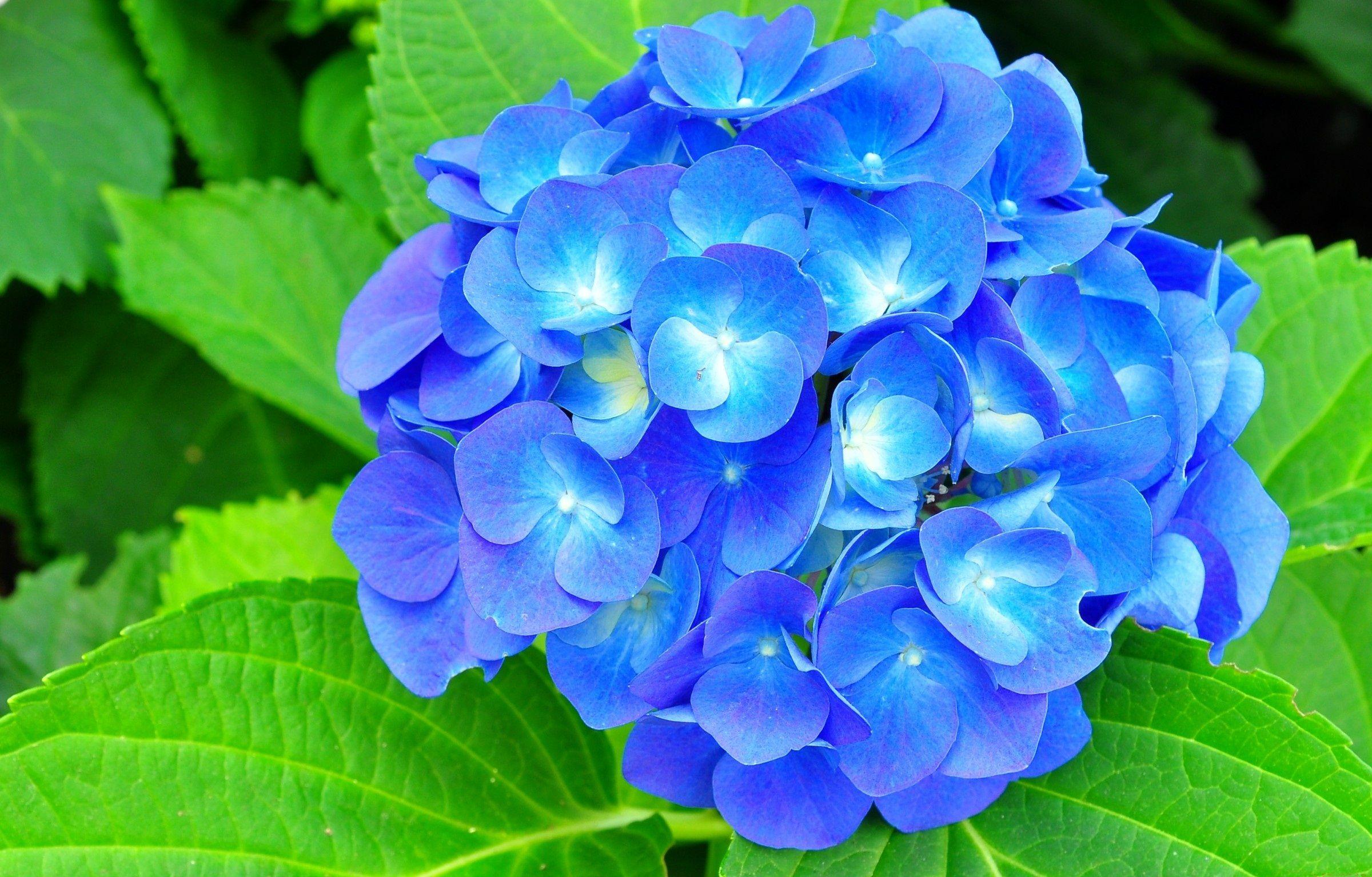 Blue Hydrangeas Flower Picture Hydrangea Flower Pictures Hydrangea Flower Hydrangea Wallpaper