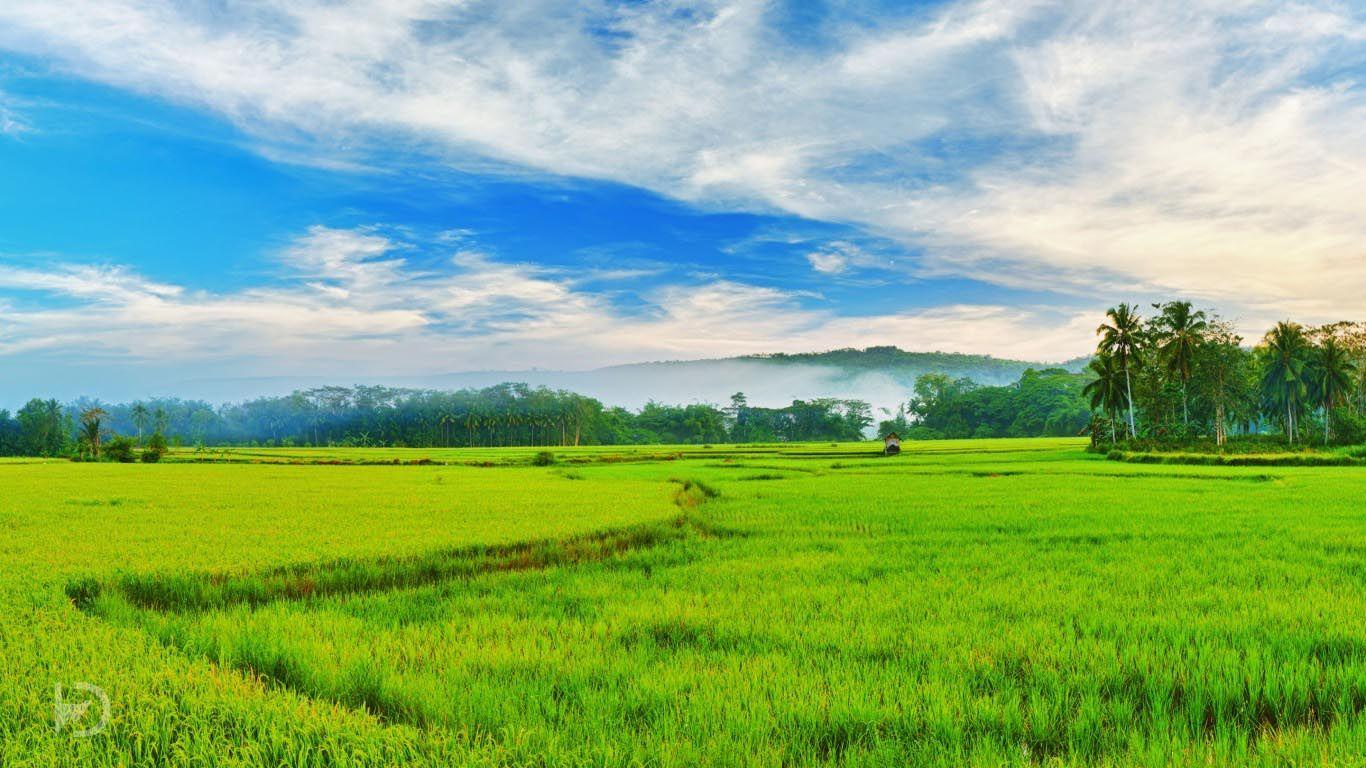 Rice Field Kerala India Field Wallpaper Green Fields Green Landscape
