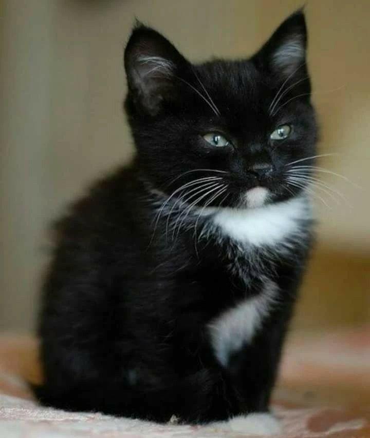 Awe He Wearing His Tuxedo Cute Cats Cute Animals Kittens Cutest