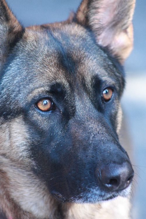 German Shepherd Pet Insurance Cost Cheap Pet Insurance