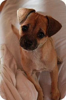 Chandler Az Pug Chihuahua Mix Meet Darci A Puppy For Adoption