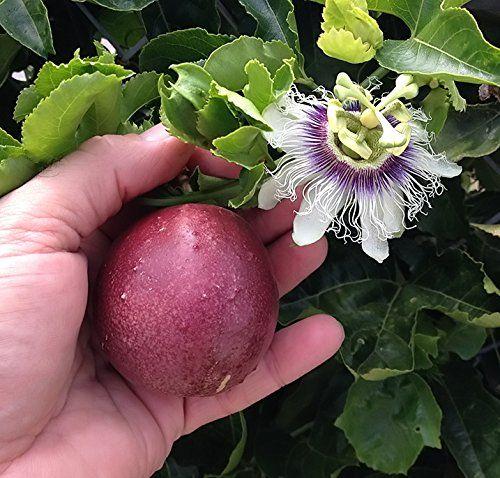 Red Rover Passiflora Edulis Edible Purple Passion Flower Fruit Passion Fruit Plant Fruit Plants Passion Flower Plant