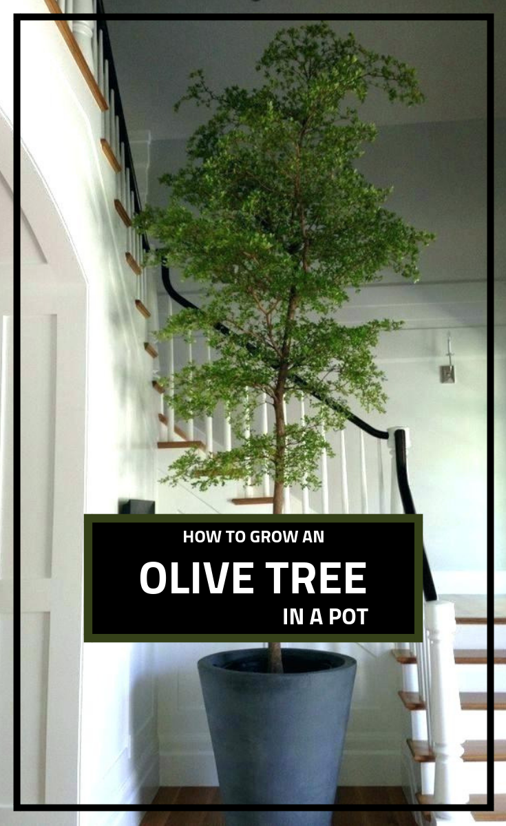 How To Prune Olive Trees Growing Olive Trees Pruning Olive Trees Olive Trees Garden