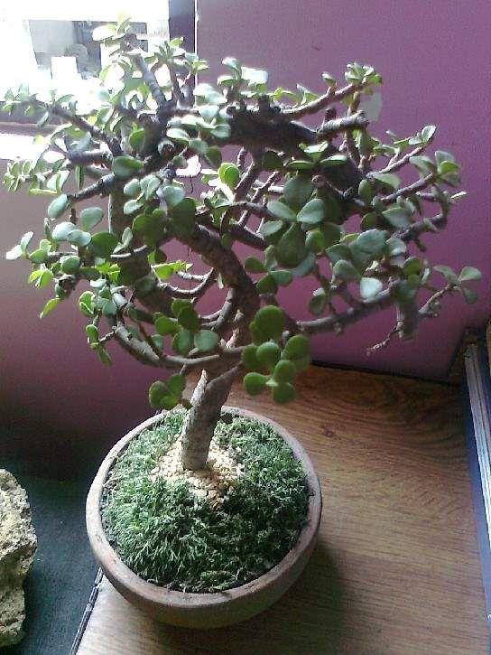 Rbol de la abundancia o portulacaria afra jardiner a bonsai del arbol de la abundancia - Plantas para bonsai ...