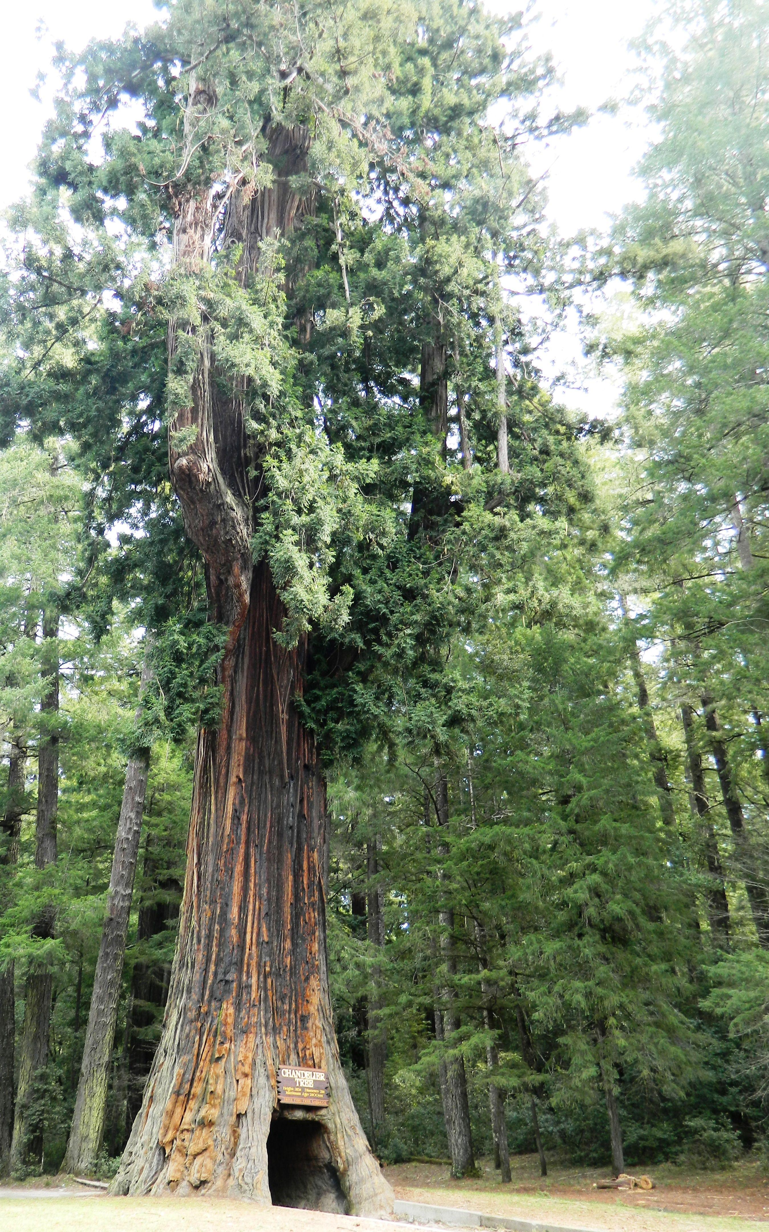Chandelier Drive-Thru Tree in Leggett, CA | Great pictures ...