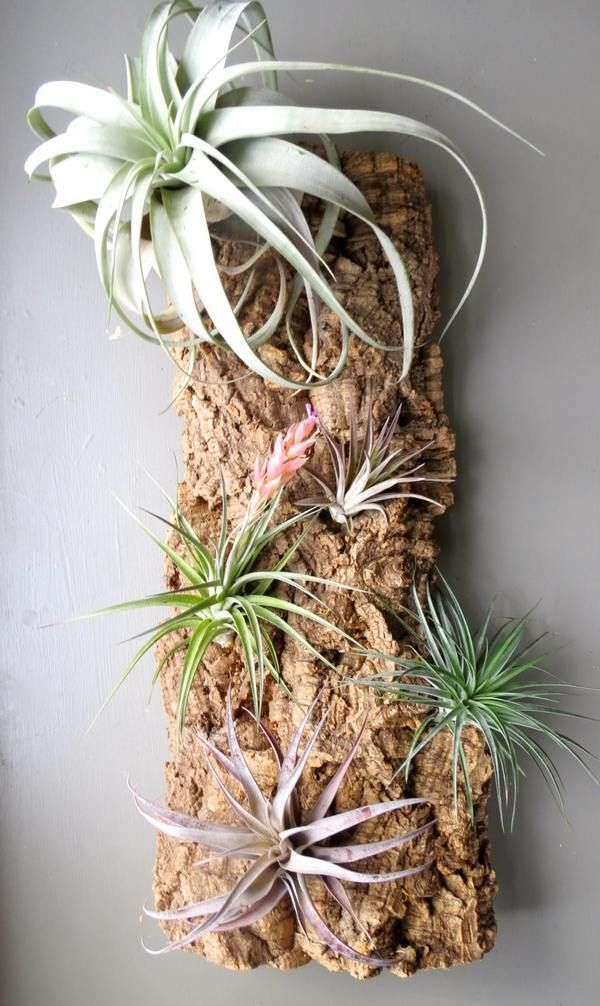 How to mount air plants ideas wall mounted tillandsia for Air plant art