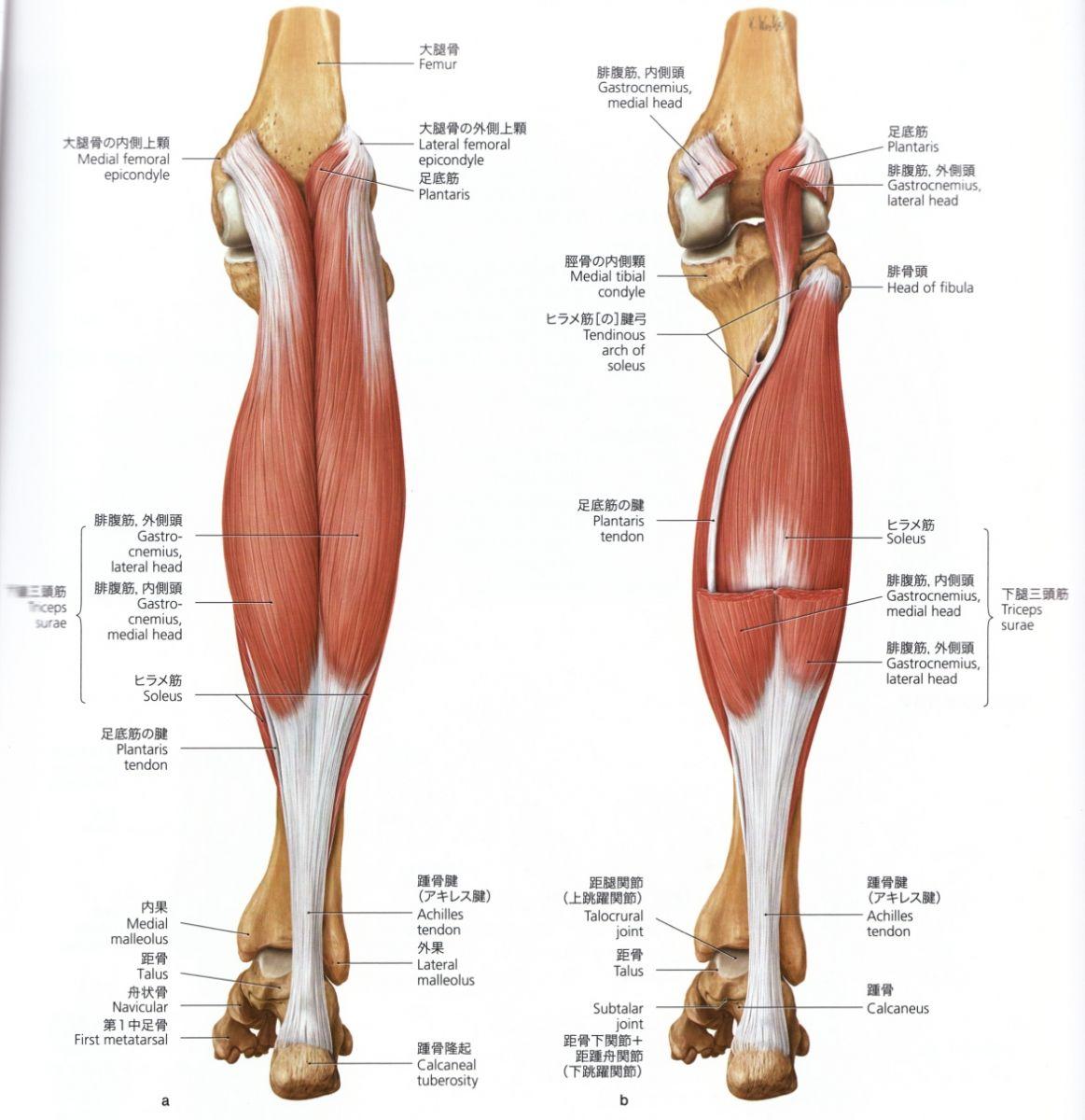その5 足の解剖学   毎日かたこり。3.0   anatomy   Pinterest   Anatomy ...
