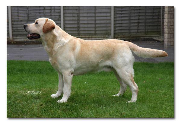 Carpenny Made A Million Max Abuelo Materno De Nuestro Labrador