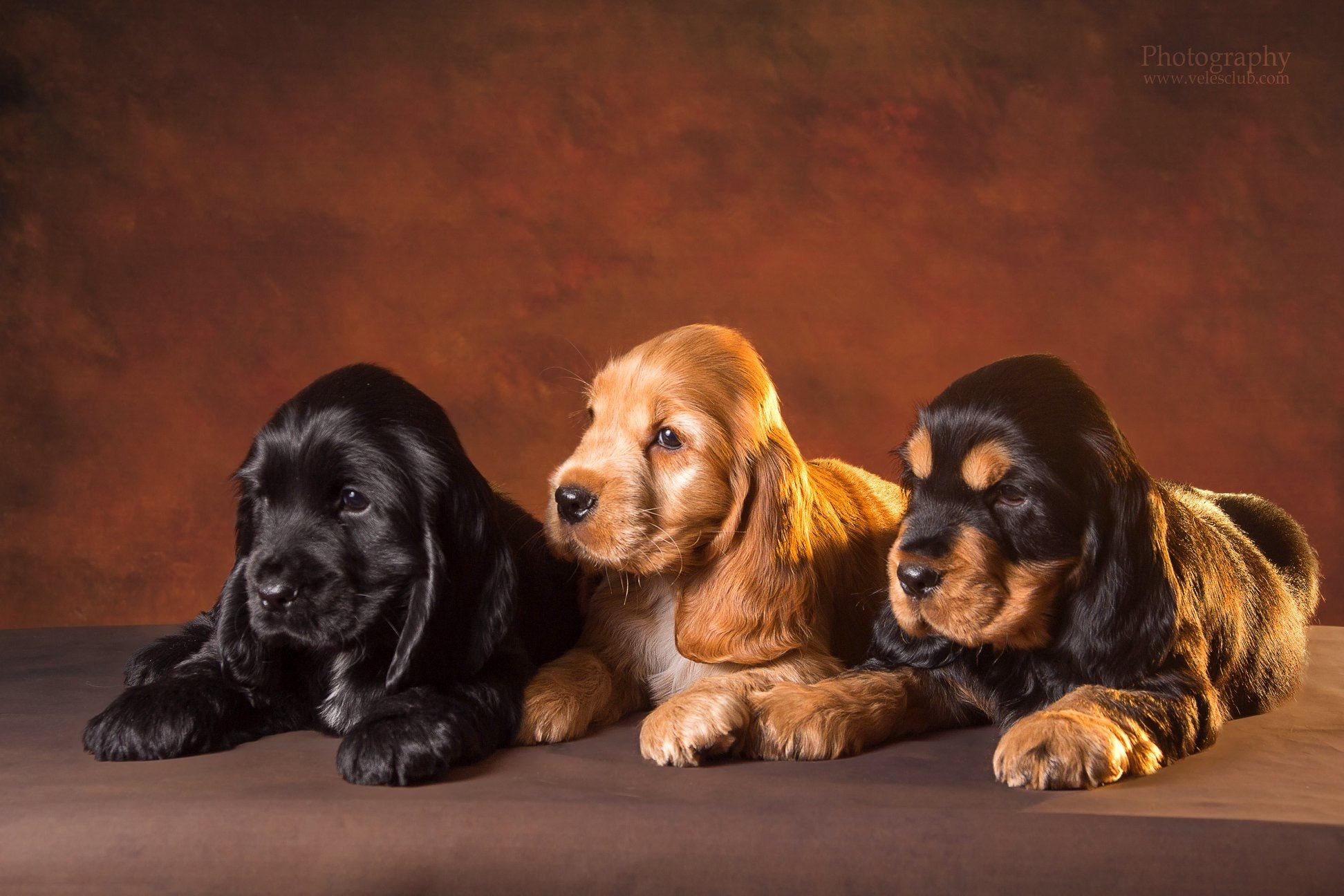 Pin By Jillian Wallace On Cocker Spaniel Ingles Cute Puppies Dogs Cocker Spaniel Puppies