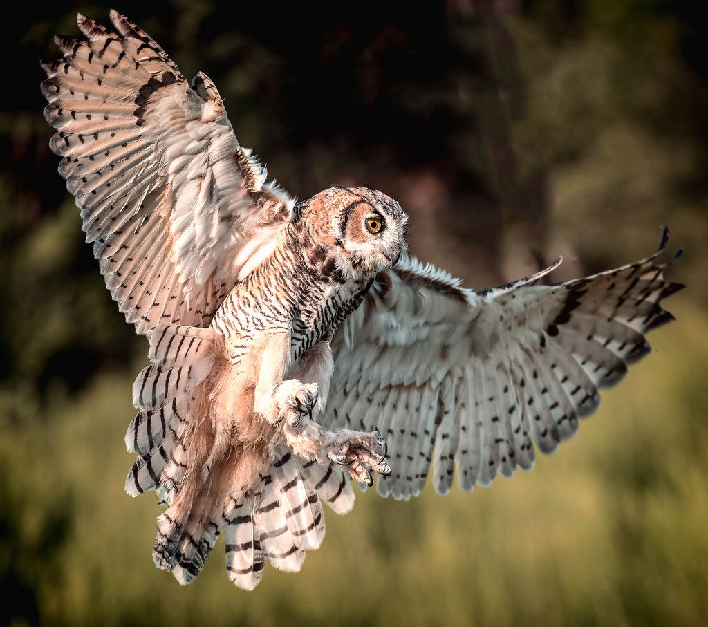Great Horned Owls Vary In Color Tone Across Their Range Birds From The Pacific Northwest
