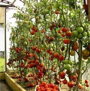 помидоры в теплице выращивание формирование