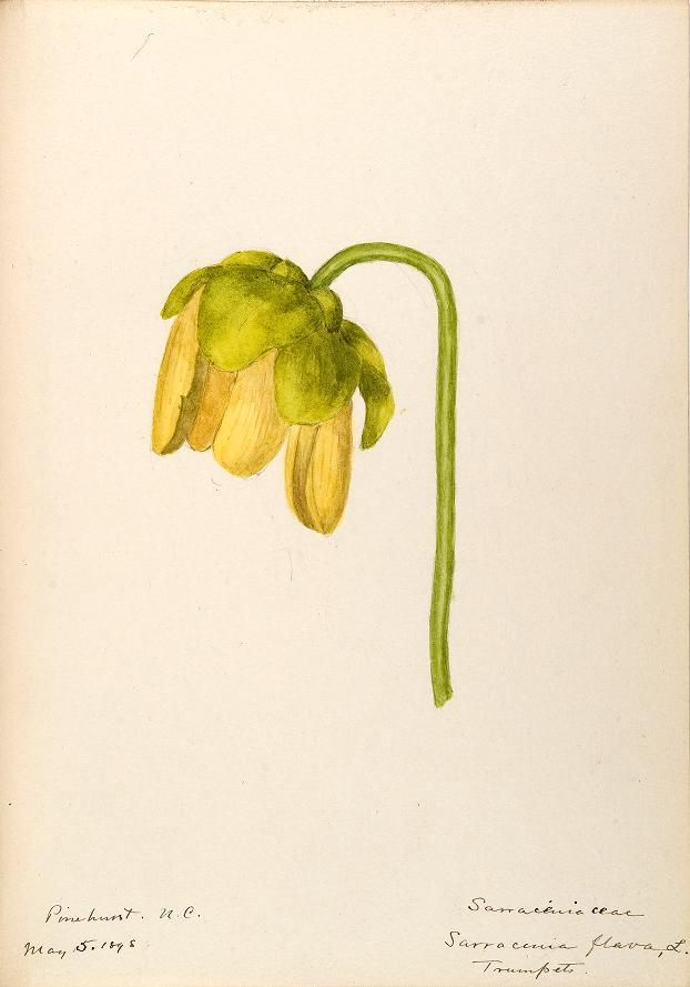 v.7 (1888-1910) - [Water-color sketches of plants of North America and Europe] - Biodiversity Heritage Library