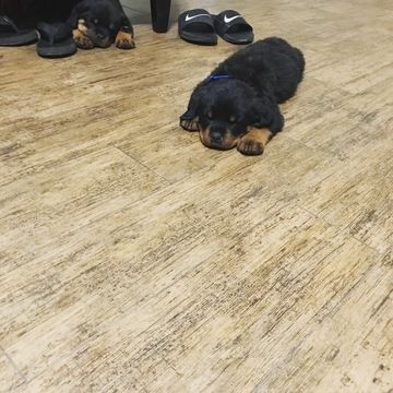 Rottweiler Puppy For Sale In Bakersfield Ca Adn 39920 On