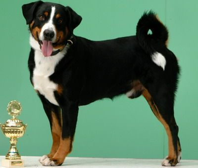Appenzeller Sennenhund Rare Breed Not Akc Recognized Contact Appenzell Mountain Dog Club Of America Deb Schneider Dog Club Purebred Dogs Mountain Dogs
