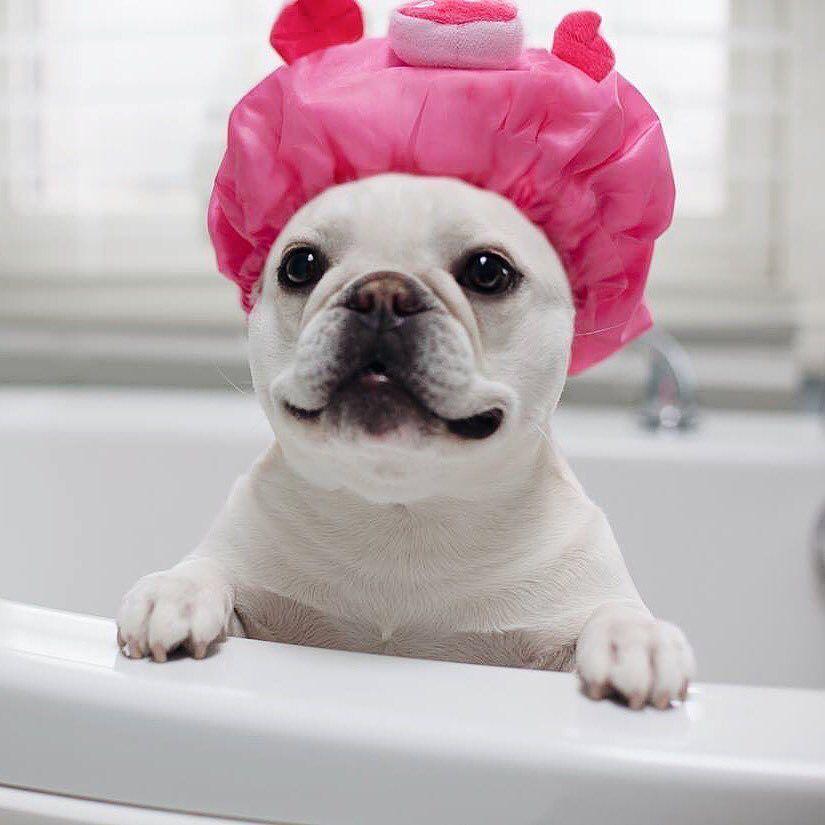 Pin på French Bulldog
