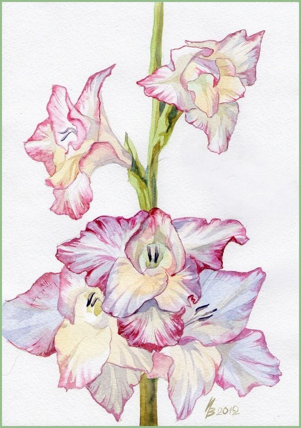 First Gladiolus This Summer Flower Art Flower Drawing Gladiolus
