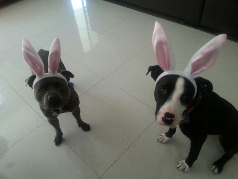 Where are the easter eggs ? #Staffy #easter #cute #bully